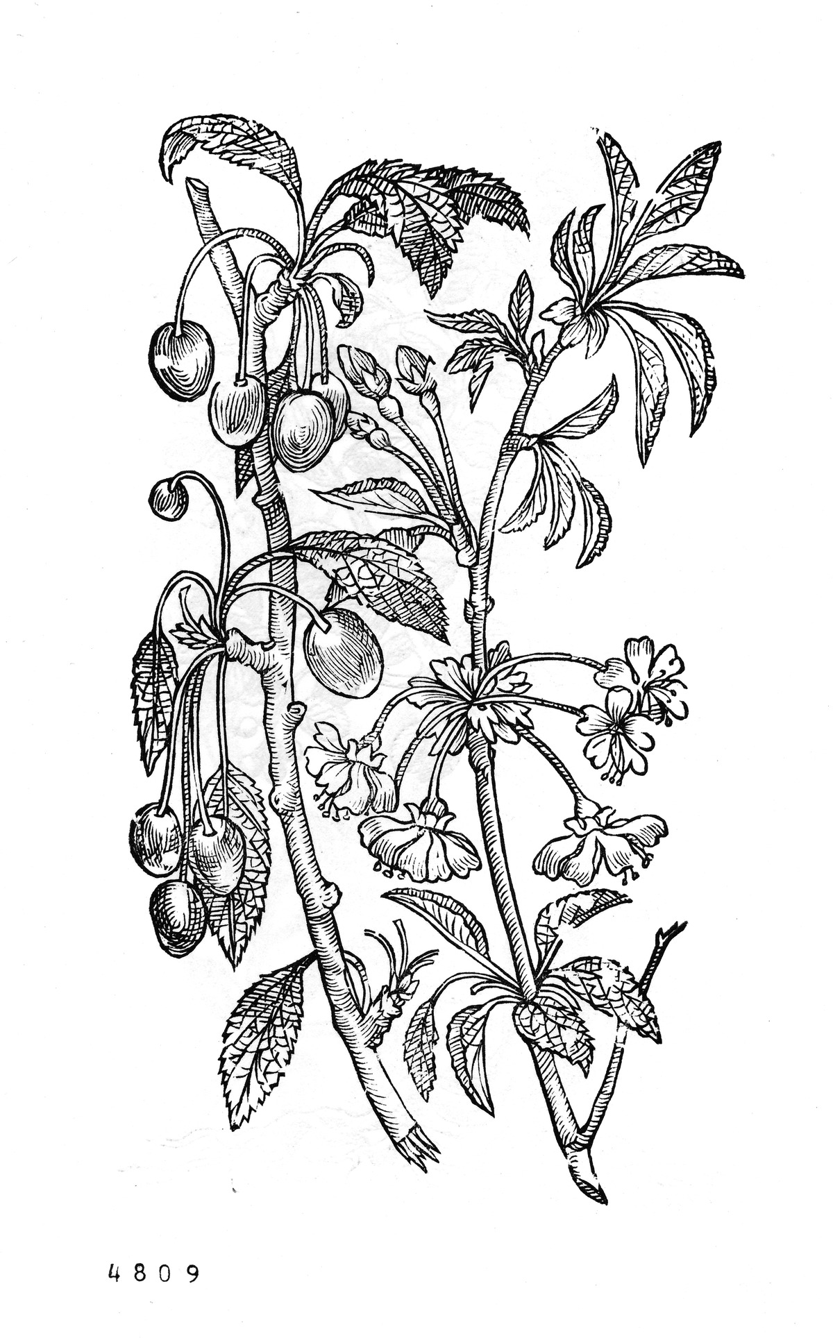 Zoete kers [Prunus avium]